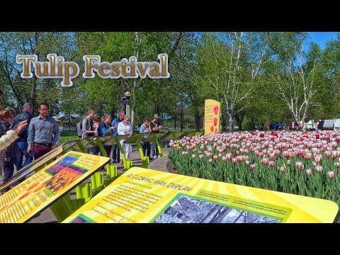 Canadian Tulip Festival Des Tulipes - Full Bloom - Dow's Lake - Ottawa - Canada