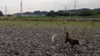 ジャックラッセルテリアのジャスパーくんと、甲斐犬富美子の河原遊びで...
