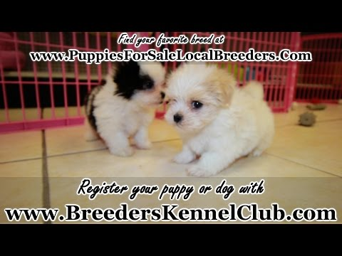Malti Tzu, Puppies For Sale, In Nashville, Tennessee, TN, 19Breeders, Clarksville, Bartlett