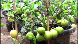 Indahnya Berbagi Part 47 Cara Mudah Dan Cepat Membuahkan Jeruk & Manggis Dal