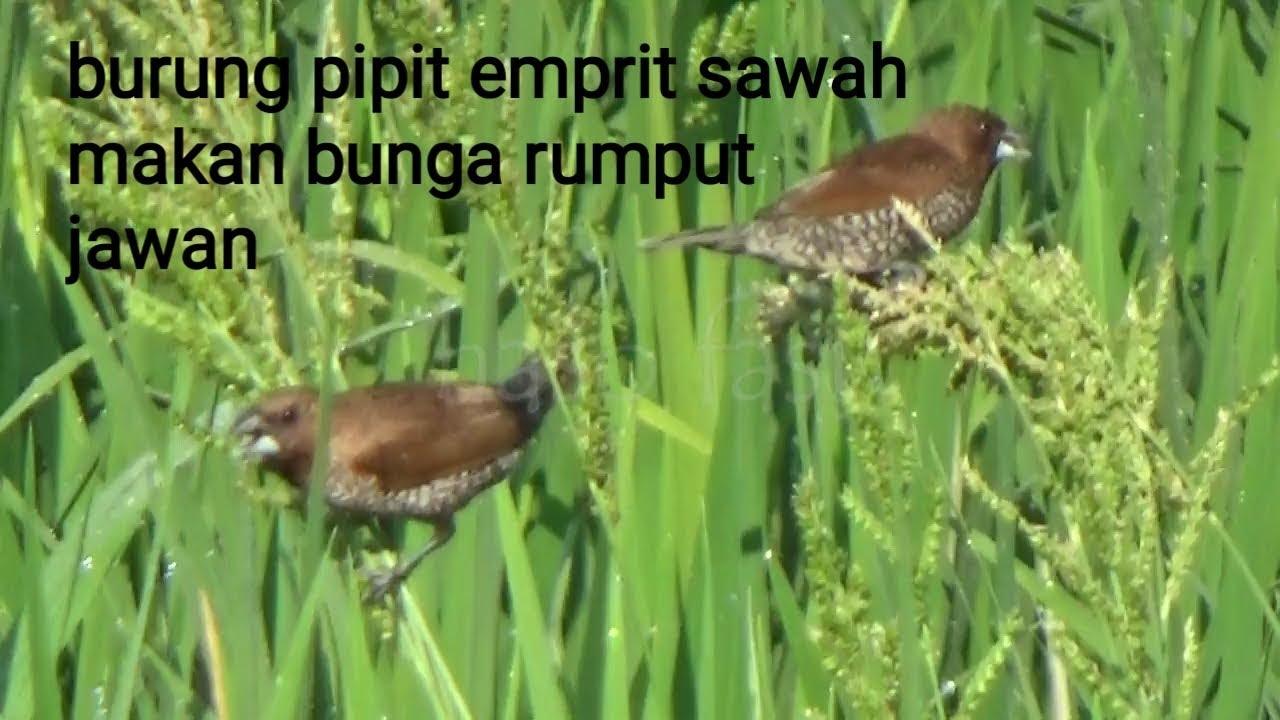 Burung Pipit Emprit Sawah Makan Bunga Rumput Jawan Youtube
