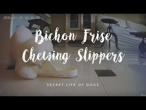 Bichon Frise Chewing Slippers | Furbo Dog Camera
