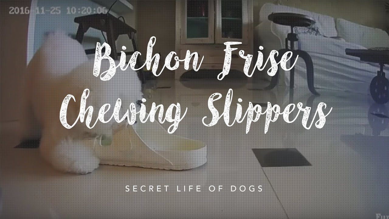 2b813f4f08d2 Dog Nanny Camera Caught Bichon Frise Chewing Slippers - YouTube