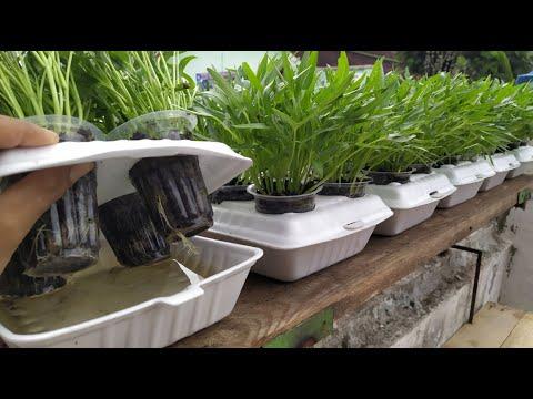 Styrofoam Kotak Makan Untuk Media Tanam Kangkung