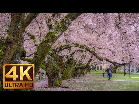 4K Relax Video - 2 HRS Cherry Blossom at the University of Washington on a Rainy Day - 2017 Part 2