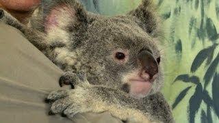 You can cuddle koalas at the Kuranda Koala Gardens. This is a spot ...