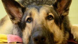 German Shepherd Rescue Kansas City - 3-year Old Marley - Floppycats