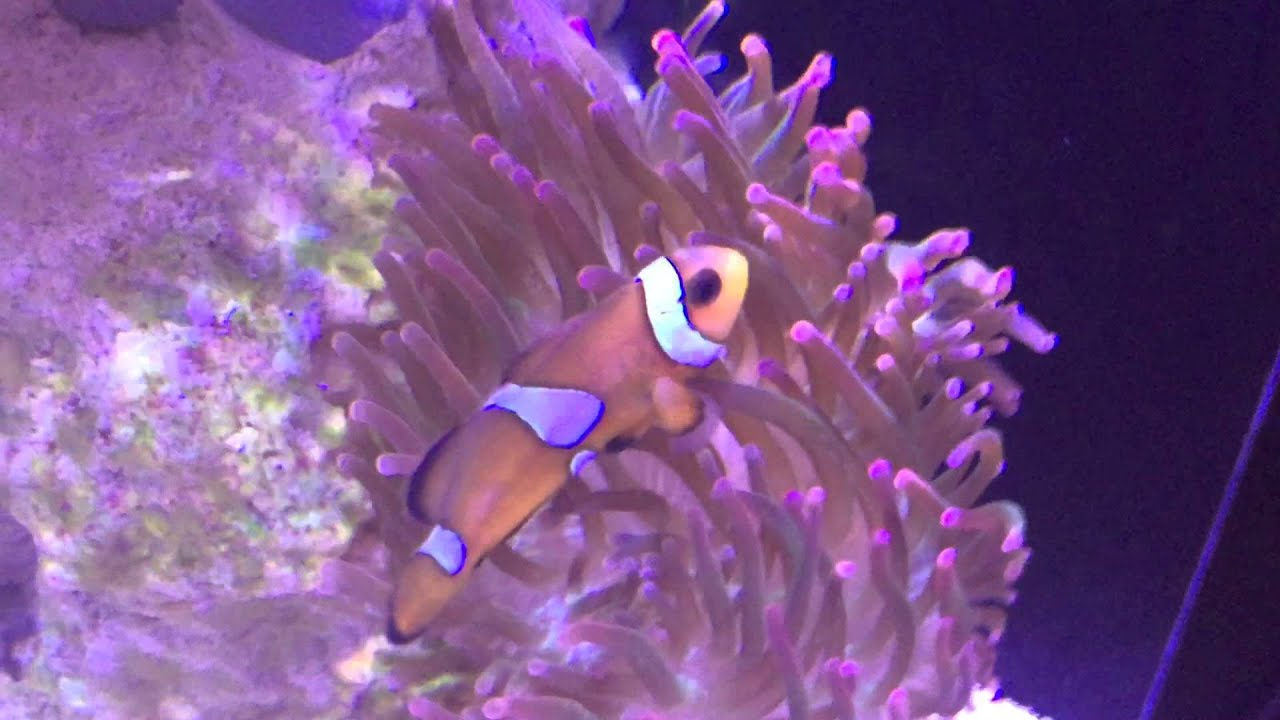 rose bubble tip anemone in nano reef nuvo fusion 20