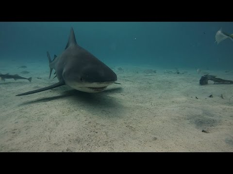 Shark Diving Bahamas - Swimming with Bull Sharks in Bimini. GoPro Underwater Video