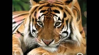 Фотографии - Тигров ( tigers )