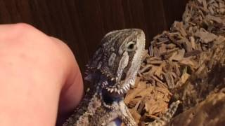 THIS BABY BEARDED DRAGON WONT EAT