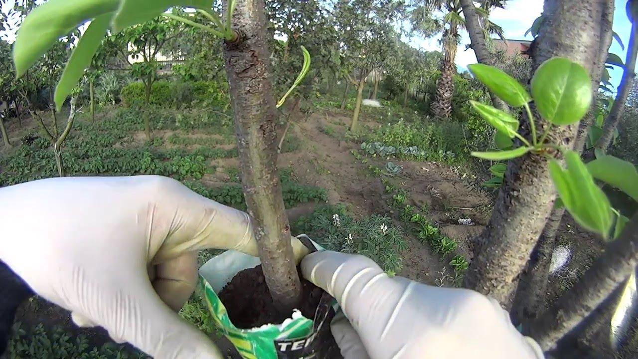Come coltivare il mango - Idee Green