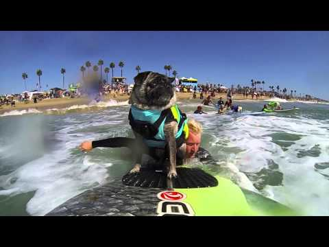 Brandy the PUG at 2014 Surf City Surf Dog