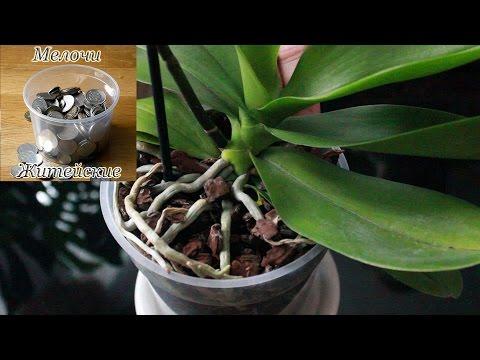 Фаленопсис домашняя орхидея.  Как купить орхидею в горшке.  Пересадка при цветении