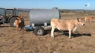 Lozère : la sécheresse et le manque d'eau sur l'Aubrac handicapent les éleveurs