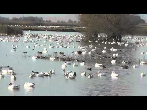Snow and Ross's Geese at Sacramento National Wildlife Refuge