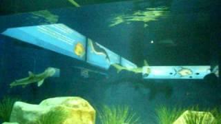hammerhead shark  at the San Antonio Zoo