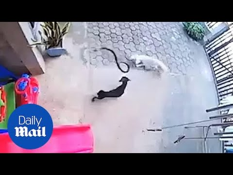 Cosmic Kev - Video: Dogs Fight Poisonous Snake to Protect Sleeping Baby, One Dies