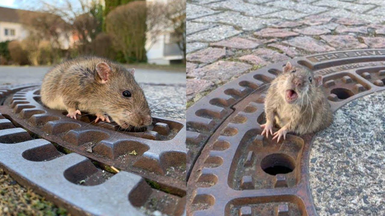 fat rat germany