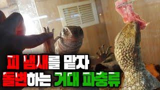 생고기 피냄새를맡자 돌변하는 거대 파충류의 식욕