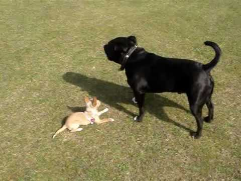 bull terrier chihuahua mix chihuahua vs staffordshire bull terrier youtube 1601