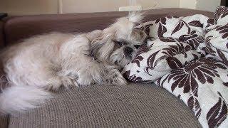 Как мотивировать ленивую собаку | Дрессировка ши тцу