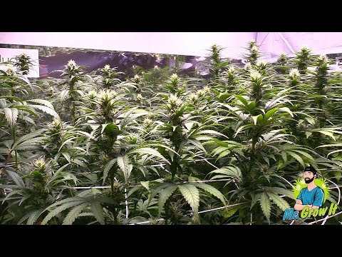 TEMPERATURE & HUMIDITY FOR FLOWERING CANNABIS PLANTS! – GROWING CANNABIS INDOORS