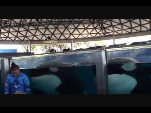 Seaworld San Antonio - closeup look at killer whales