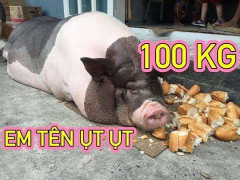 Nuôi con heo 100kg làm thú cưng hot nhất Sài Gòn - Ẩm thực Việt Nam 247