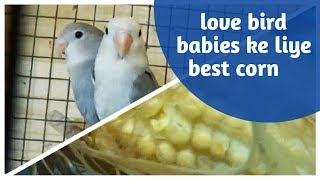 right corn for your love bird babies/ choose right corn for love bird babies