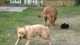 Dogue De Bordeaux And Labrador Playing