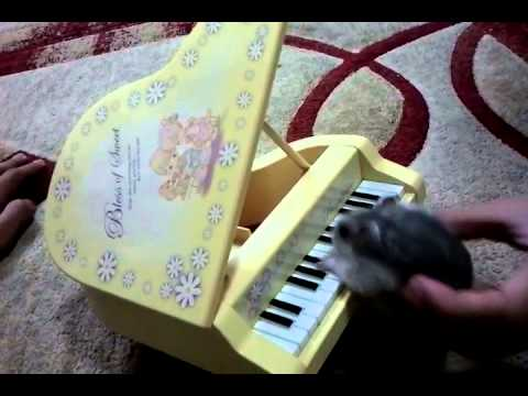 Awesome hamster playing a piano