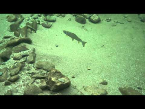 Underwater video of Alaska grayling on the Chena River.