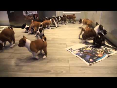 16 Basenji puppies will melt your heart!
