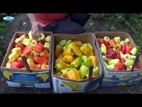 СЛАДКИЙ ПЕРЕЦ-ДВА ЛУЧШИХ ГИБРИДА! | выращивание | сладкого | сладкий | огород | лучший | сорта | самый | перца | перец | сорт
