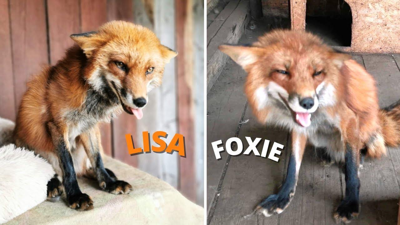 Почему лисы смеются   ВоскЛИСенье