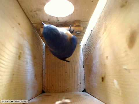 2013 - Bluebirds check out nest box!