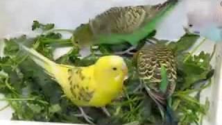مرغ عشق اراک01.mp4
