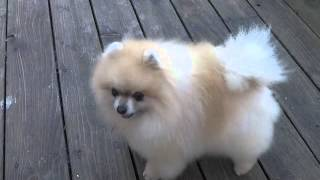 Tiny Neglected Pomeranian Gets Adopted