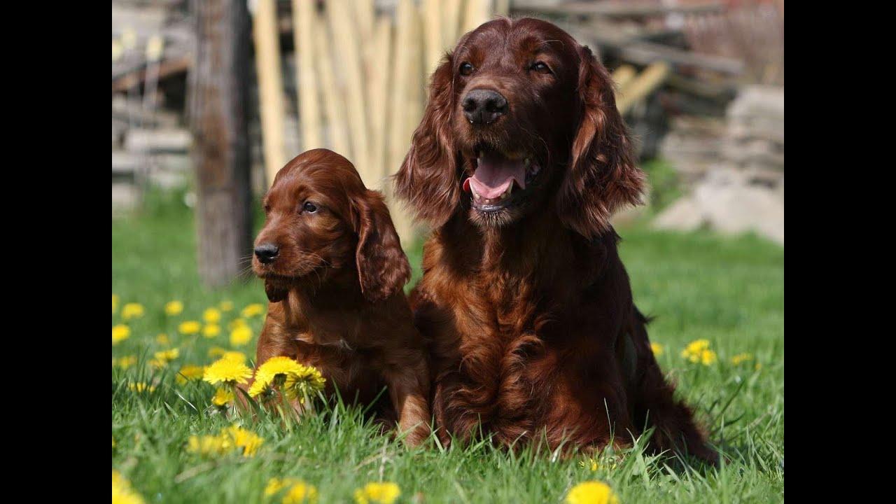 Ирландский сеттер (Irish Setter). Породы собак (Dog Breed)