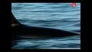 Косатки защищали людей от акул и спасали тонущих