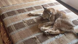 Рысь Даша  Нападение котёнка на рысь