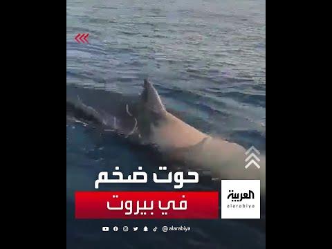 حوت ضخم في بحر بيروت  - نشر قبل 2 ساعة