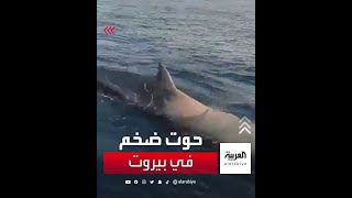 حوت ضخم في بحر بيروت