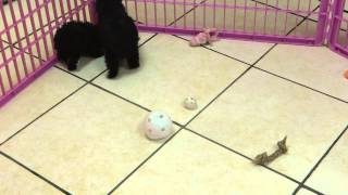 Yorkie Poo, Puppies, For, Sale, In, Portland, Oregon, OR, McMinnville, Oregon City, Grants Pass, Kei