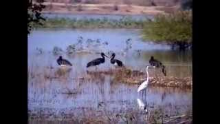 Black stork Ciconia nigra Migrated in India by Shirishkumar Patil Amravati