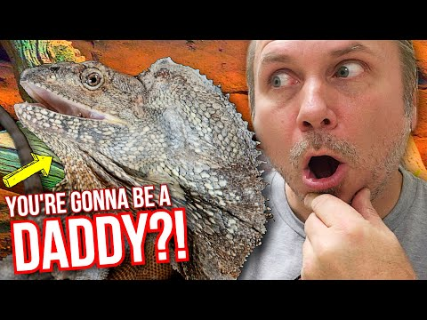 omg!-is-my-frilled-dragon-gonna-be-a-daddy??!!-|-brian-barczyk