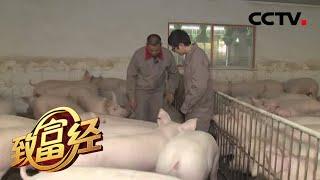 《致富经》多赚钱的秘密 陈忠洪和他的38万头猪 20200318 | CCTV农业