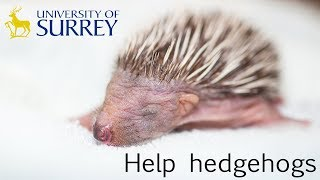 Surrey University students are trying to save hedgehogs!