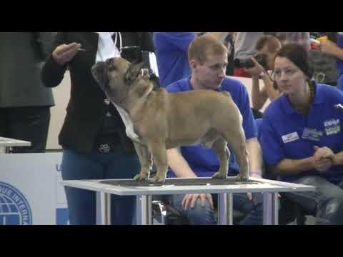 French Bulldog Euro Dog Show 2017